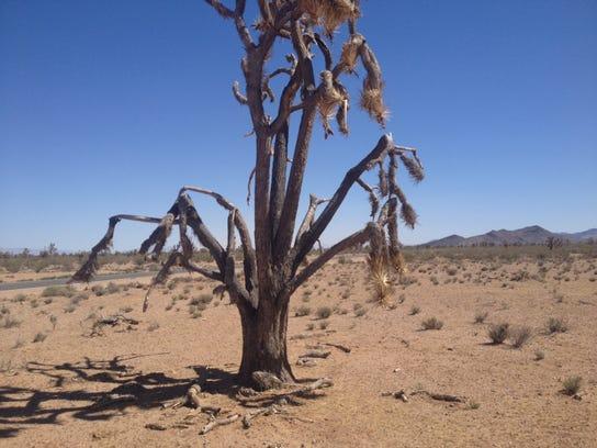joshua tree03