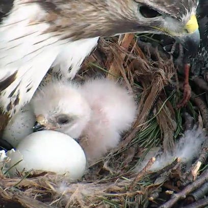 Red-tailed Hawk Ezra guards the nest Monday where the