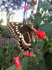 Swallowtail butterfly on Turk's cap.