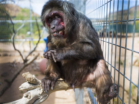 Buster, a stump tailed macaque, was one of 10 monkeys confiscated by the Maricopa County Sherriffs and found a new home at Keepers of the Wild in Valentine, AZ May 27, 2015. The a nonprofit sanctuary for retired Las Vegas show tigers and other exotic animals is looking to expand north of Kingman.