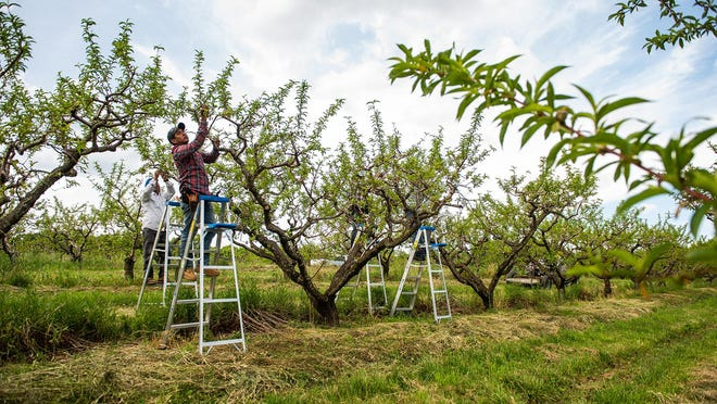 The Carino family farm workers cull harrow peaches on tree at Soons Farms on Wednesday, May 27th, 2020. The late spring frost in April has done extensive damage on the peach orchard. The Harrow Beauty peach is an early to mid-August variety. KELLY MARSH/FOR THE TIMES HERALD-RECORD