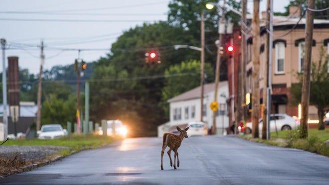 A deer crosses the road in Middletown in August 2017.