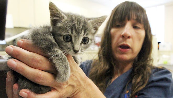 Karen Burden of the city's Animal Services shelter shows a small kitten she named Sapphire that was rescued by El Paso firefighters from underneath the floor of a shed.