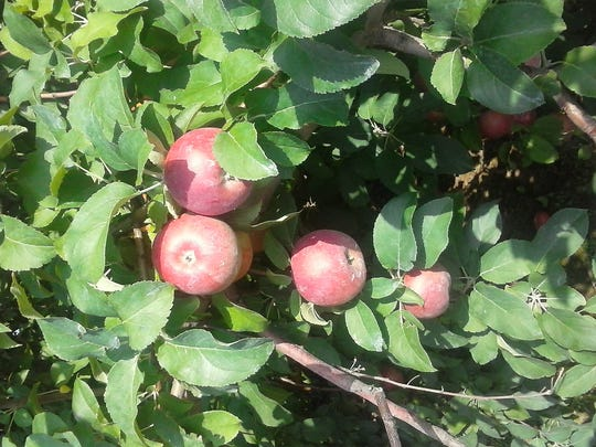 """Lois Snyder of Jackson Twp writes, """"An apple a day keeps the Doctor away!"""""""