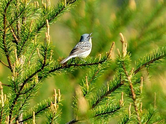 Mio Au Sable River Kirtlland Warblers