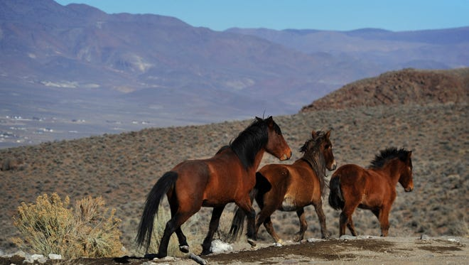 In this Jan. 23, 2015 photo, wild horses are seen during a BLM tour in the Pine Nut Mountains just outside of Dayton, Nev. U.S. Bureau of Land Management officials fighting a losing battle to protect the health of federal rangeland across the West, properly manage tens of thousands of mustangs in the wild and care for tens of thousands others already rounded up want to make something perfectly clear--they've got a $1 billion problem.