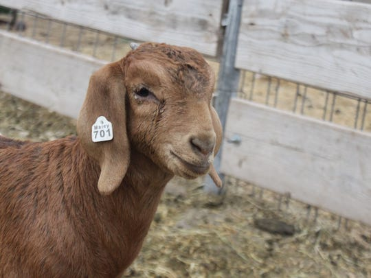 A show goat poses at the Maley Goat Ranch, Monday in Carlsbad.