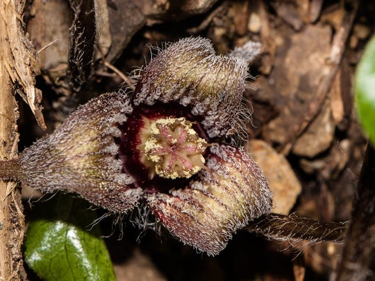 A close-up of the creeping wild ginger flower shows