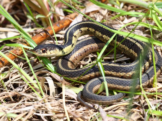 Large snakes eat mice, rats, moles, voles and other