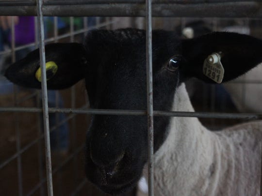 Goats are sheered during the fourth day of the Eddy County Fair, Tuesday at the Eddy County Fairgrounds.