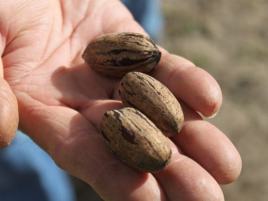 New Mexico pecans could be threatened by a weevil known to bore into the shell and lay eggs.