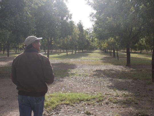 Dean Calvani inspects his pecan orchard, Oct. 31, at Calvani Farms.