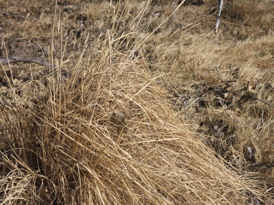 This native New Mexican grass uses a root system more fibrous than its invasive counterparts, allowing water to be used slowly and more gradually, March 12, 2018 at the Black River.