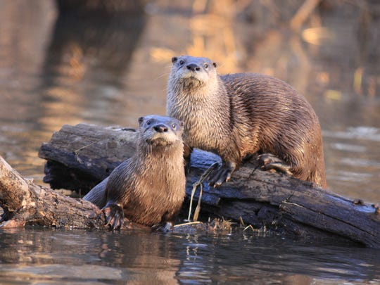River otters at play at Chichaqua Bottoms Greenbelt near Des Moines.