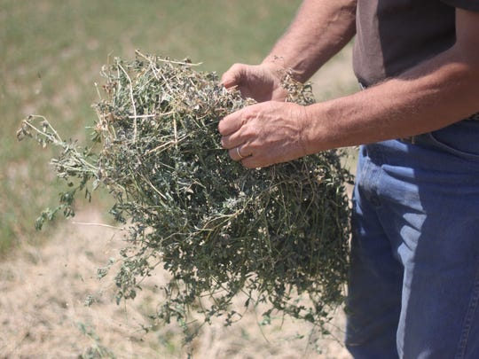 Alfalfa is grown on Craig Ogden's ranch to be made