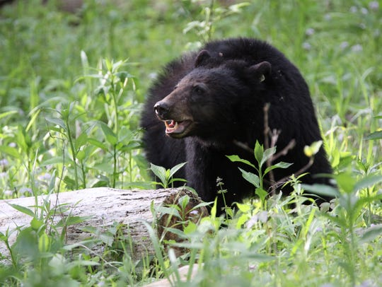 Black bear, May 2015.