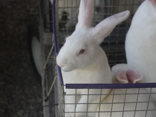 The second day of the Eddy County Fair features a rabbit