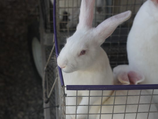 The second day of the Eddy County Fair features a rabbit show, along with yearling and swine competitions, July 24, 2018 at the Eddy County Fairgrounds in Artesia.