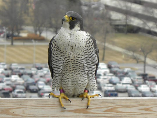 Michigan's peregrine falcon population has risen remarkably in the last 30 years, state officials announced.