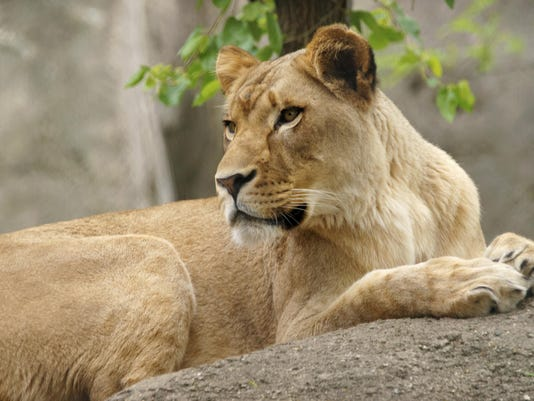 Lion Kills Lion