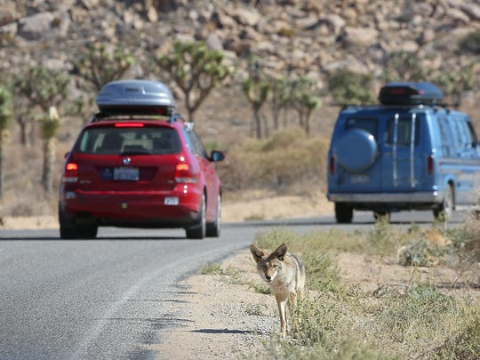 More than $70 million of the deferred maintenance needs at Joshua Tree National Park is for roads. In this file photo, a coyote begs for food from passing vehicles on the main route through Joshua Tree National Park.