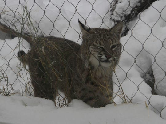 The winter weather made for a familiar setting for the zoo's bobcats.