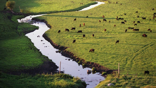 In this undated photo, cattle graze near Beaver Creek on a farm north of Redwood Falls.