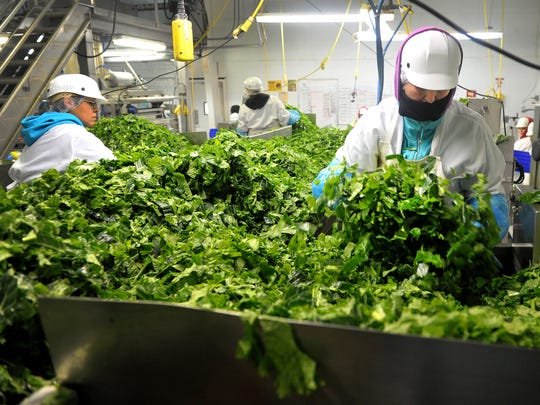 Workers are elbow deep in kale on a processing line at San Miguel Produce in Oxnard. The producer of fresh-cut greens will be open to visitors when Ventura County Farm Day takes place on Nov. 5.