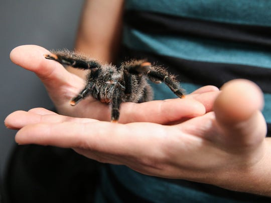 Tim Maddox holds one of his tarantulas at MadMouse