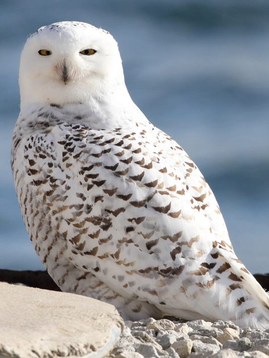 The Annual Fall Migration Of Snowy Owls Is Underway In Wisconsin