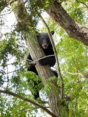 This Black Bear stranded in a tree in the vacant lot