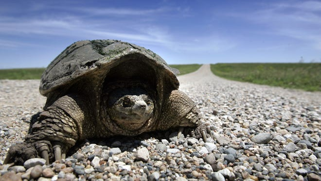 A snapping turtle crosses a road through the Neal Smith National Wildlife Refuge on a spring day. Harvest limits have been proposed for snapping turtles and three other species.