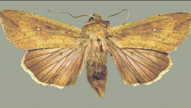 Armyworm moth.