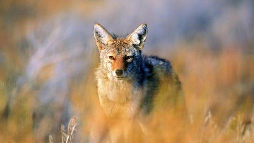 Coyote (Canis latrans), Joshua Tree National Park, California, USA