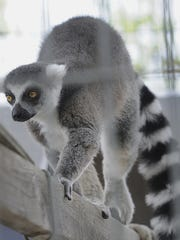 Lemur at the Wisconsin Rapids Municipal Zoo