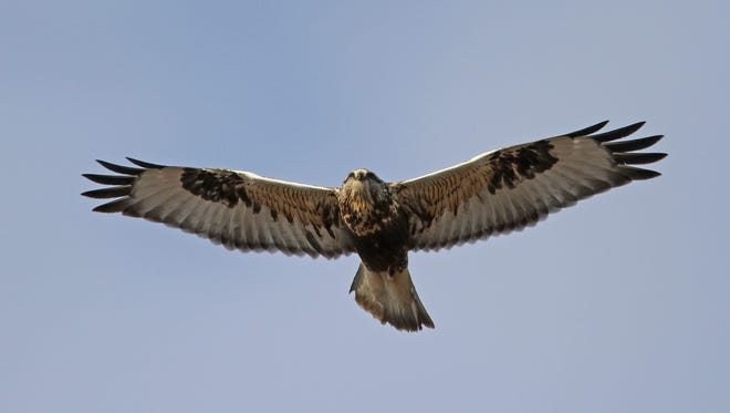 A rough-legged hawk is one of the raptors commonly seen kiting in Iowa.
