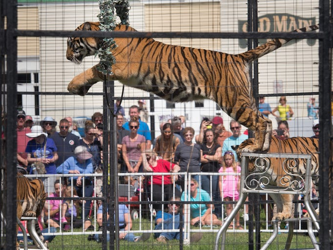 A tiger jumps between stands during the Bruno's Tigers