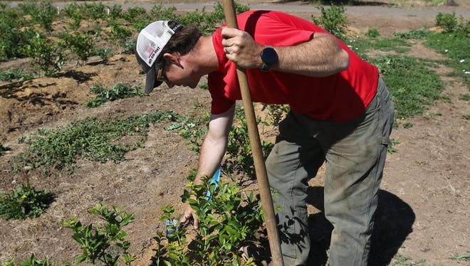 n this Wednesday June 10, 2015 photo, Farmer Evan Kruse gestures towards a moisture indicator placed amidst a row of blueberries to measure water content in the soil at Kruse Farms in Roseburg, Ore. The blueberries are watered through a drip irrigation system buried in the ground. Drought emergencies have now been declared in more than half of Oregon's 36 counties. Gov. Kate Brown on Friday, June 12, 2015 confirmed emergencies in Coos, Douglas, Gilliam and Jefferson counties.