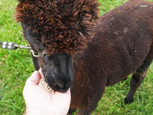 Jackson nibbles on some alpaca treats from the photographer's own hand