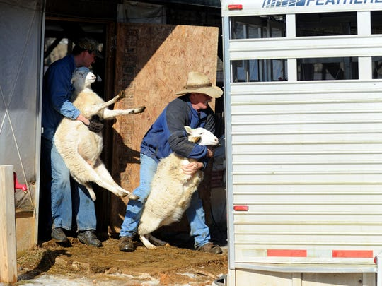 Sergei Kasyanov and Rob Robertson load sheep being purchased onto a waiting cattle trailer. Kasyanov purchased sheep from the Robertsons at Big Valley Ranch near Monterey on Wednesday, Feb. 6, 2013.