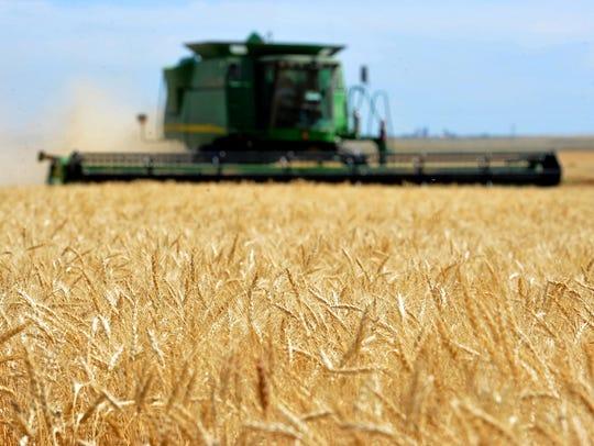 A combine cuts winter wheat on the Lone Prairie Farm