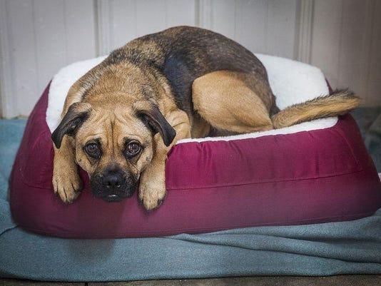 ARF sad dog on bed