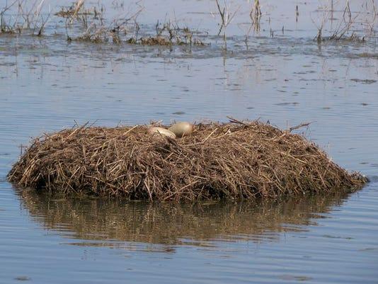 whooping crane nest.JPG