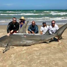 Robstown angler lands 14-foot hammerhead on Corpus Christi beach