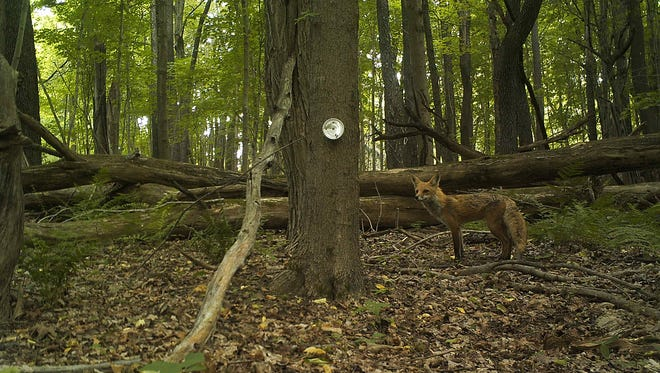 A fox roams a small forested area in Dutchess County, where researchers are studying the role of predators in Lyme disease. Foxes help control the population of mice, a prime rodent that infects ticks with the Lyme Pathogen.