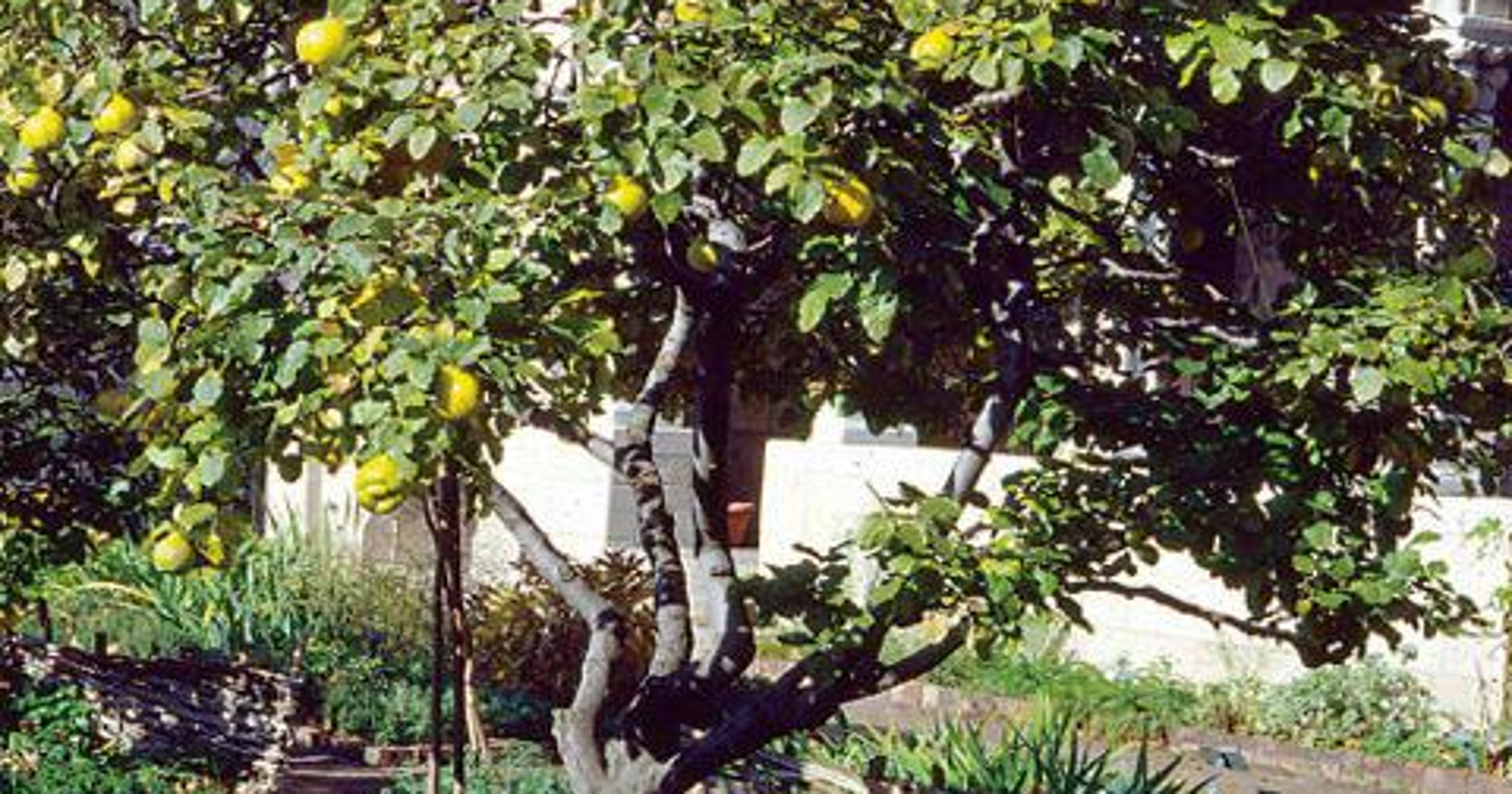Quince Grow And Taste The Forbidden Fruit