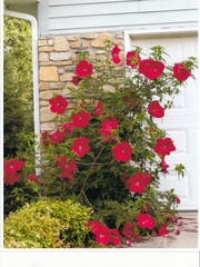 This red Hibiscus outside Art DeJong's home at Givens Highland Farms Retirement Center in Black Mountain should prove to be a beacon to migrating hummingbirds.