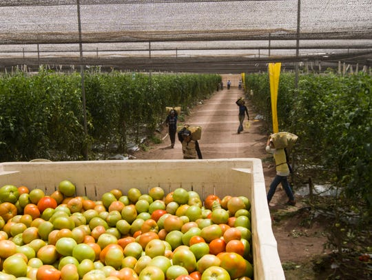 Farm workers pick tomatoes from the vines at Chaparral Agricola tomato farm in Mexico on May 4, 2017.