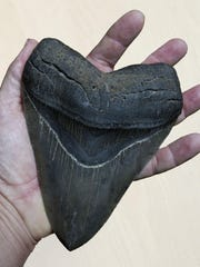 Jim Forrest has a collection of teeth from megalodons, extinct sharks and the most fearsome ocean carnivores that ever lived.