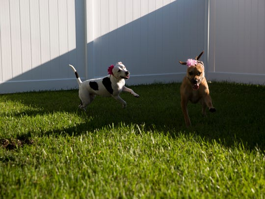 Pit bull rescue Abigail, 1, left, plays with her new companion Tala, 1, at her new home Wednesday, July 5, 2017 in Fort Myers. Abigail was found in November of last year as a stray, scarred and bloodied, due to what is believed to be her involvement in a dog-fighting ring in Miami-Dade county. Through rescue group Love is Furever Abigail was able to recover fully and find a new home.